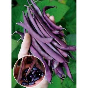 Flat Purple Pole Bean: Blauhilde - Heirloom Garden Vegetable - (60 Seed Pack)
