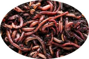 Composting worms ( Red Wigglers ) or Euro Nightcrawlers (Hybrid Fishing/Composting) *NO TAX* and fast shipping! Ontario Preview