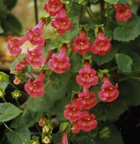 Asarina Seeds Falling Stars Rose 25 Seeds Creeping Gloxina Seeds