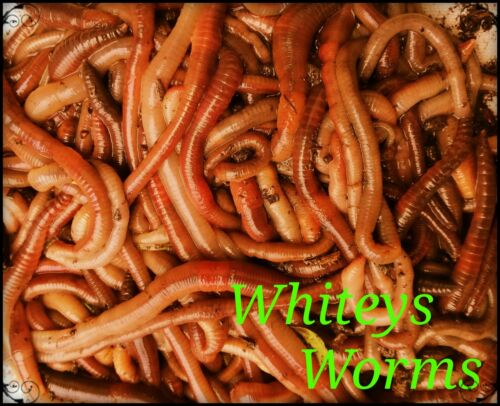 100 large lob worms big carp specimin perch 100/% natural nutritious livefood