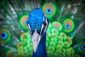 Close-Up-of-Male-Peacock-With-Tail-Feathers-Photo-Art-Print-Poster-18x12-inch