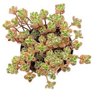 Sedum-Spurium-Succulents-Tricolor-2-039-039-or-4-039-039