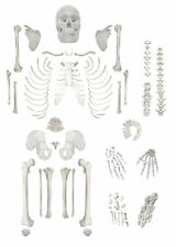 Full Disarticulated Human Skeleton Life Size