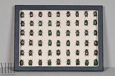 Real Green Beetles in Box Collection