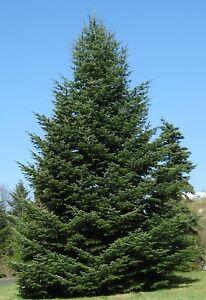 Weihnachtsbaum Samen.Details Zu 10 Samen Der Nordmanntanne Abies Nordmanniana Nordmannstanne Weihnachtsbaum