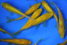 4-5 inch Live Yellow comet Goldfish for fish tank, koi pond or aquarium