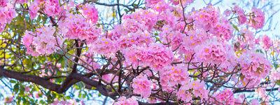 Garten Pflanzen Samen Zierpflanze Saatgut Staude Trompetenbaum-pink Zorgvuldig Geselecteerde Materialen