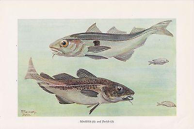 Herrlich Schellfisch Melanogrammus Aeglefinus Dorsch Gadidae Fische Farbdruck 1914