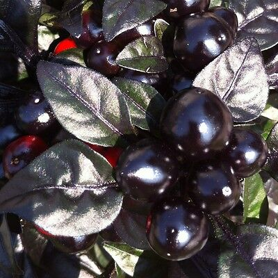 10 Semi/Seeds DI PEPERONCINO PICCANTE  BLACK PEARL