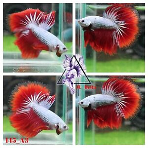 [145_A3]Live Betta Fish High Quality Male Fancy Over Halfmoon 📸Video Included📸