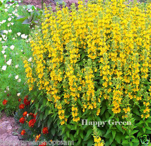 Image result for Large yellow loosestrife