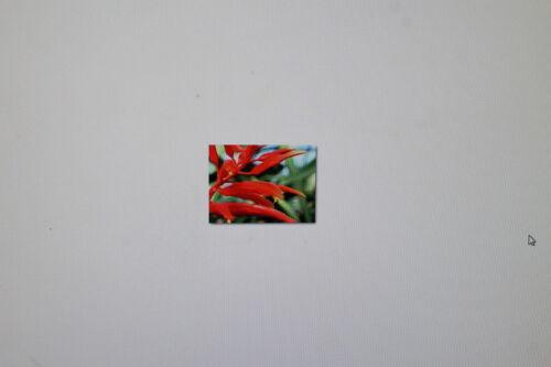 10 Samen Pitcairnia spectabilis,Bromelie,#270