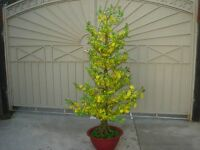 Plastic Artificial Yellow Apricot Flower Tree With Pot 72 Tall (hoa Mai)