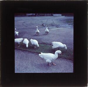 ALLEMAGNE-Oies-1956-Photo-Vintage-Plaque-de-Projection-Lanterne-Magique-VR1L9n1