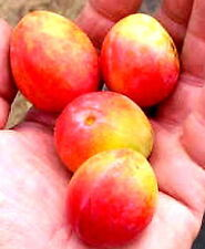 Prairie Red Plum fruit tree seedling hardy edible red-yellow plums LIVE PLANT
