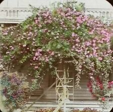 """Climbing Rose and Bibiscus"", Magic Lantern Glass Slide"