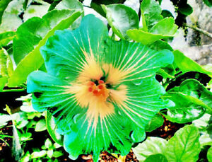 Image is loading 10-Rare-Green-Yellow-Hibiscus-Seeds-Giant-Dinner- & 10 Rare Green Yellow Hibiscus Seeds Giant Dinner Plate Flower Garden ...