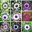 Mix Daisy Osteospermum Various Seeds Rare Unusual Stunning Garden Plant