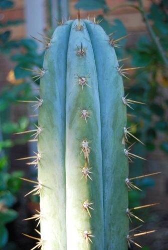 Tricho cereus macrogonus 20 seeds TRICHO CEREUS