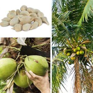 50x-Kokospalme-Samen-Kokosnuss-Seeds-Fruechtesamen-Kokosnussbaum-Obstbaum-Pflanze