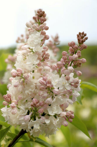 Edelflieder Stamm Syringa vulgaris `BEAUTY OF MOSCOW´ Stammhöhe 80-100 cm