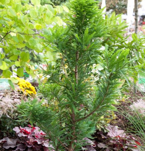 Taxodium distichum Nano palude cipresso 25-30cm