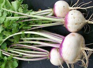 Turnip Seeds Shogoin Variety Heirloom Turnip Seeds 800 seeds Free Shipping
