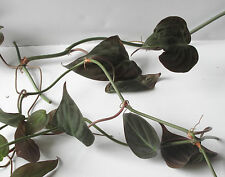 "Rare Velvet Leaf Bronze Micans Vine 12"" Cutting Philodendron"