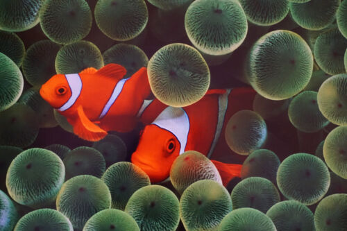 Clown Fish Pair in Anemone Widlife Saltwater Sea Picture Poster 24X36 Nemo