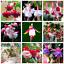 Violet-Double-petales-Fuchsia-Bonsai-en-pot-fleurs-plantes-suspendu-100-Pcs-Graines miniature 1