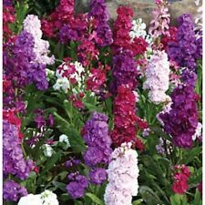 Apricot Evening Stock Matthiola Flower Seeds 50 Reseeding Annual