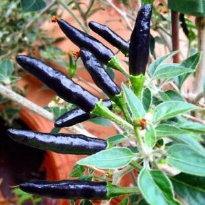 30Pcs-Rare-Black-Cobra-Hot-Chili-Pepper-Seeds-Organic-Fruit-Vegetable-Home-Seed
