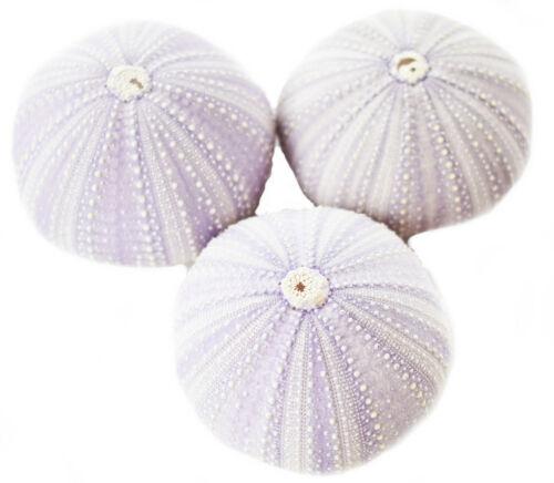 "3 Large Beautiful Natural Purple Sea Urchins 2.5/"" Coastal Beach Crafts Decor"