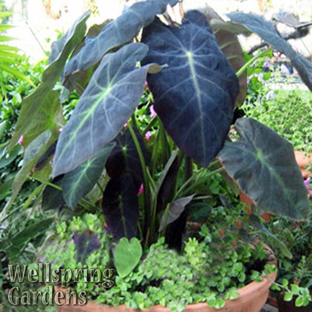 Buy Elephant Ear Colocasia Antiquorum Black Beauty Live Plant