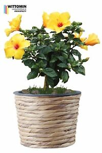Aufkleber-Wandaufkleber-Fensteraufkleber-Blumen-Topf-Gelb-Blueten-Pflanzen-Blume