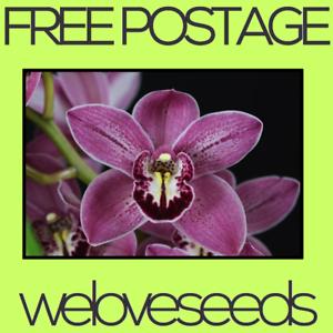 LOCAL-AUSSIE-STOCK-Rare-Purple-Cymbidium-Flower-Seeds-10x-FREE-SHIP