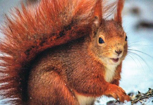 Squirrel  **   Eichhörnchen Postkarte  # 238