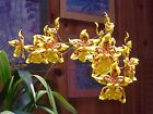 ONCIDIUM TIGER CROW 'GOLDEN GIRL' HCC/AOS, ORCHID PLANT SHIPPED IN 3