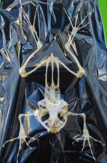 "Lot of 5 Real Clean Asian Frog Skeleton  Near 4-6 ""  FAST SHIP FROM USA"