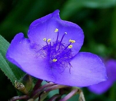100 PURPLE OHIO SPIDERWORT / WIDOWS TEARS Flower Seeds