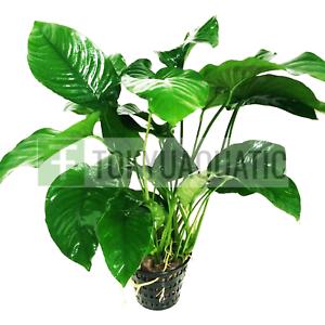 Anubias-Barteri-Wide-Leaf-Big-Pot-Freshwater-Live-Aquarium-Plant-Tank-Nana-Huge