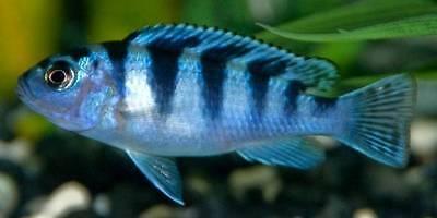 Pseudotropheus / Metriaclima lombardoi ** Malawi Cichlid **  4-5cm