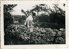 PHOTO ANCIENNE - VINTAGE SNAPSHOT - ANIMAL CHIEN MUR MURET DRÔLE - DOG FUNNY