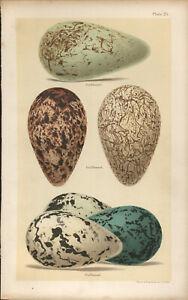 SEEBOHM Antique BIRDS EGGS print 1896 Chromolithograph  Ref NB25