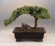 Bonsai Tree for Sale Online Juniper Bonsai Tree - Large 10 Years Old A1003