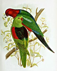 Red-Winged-amp-King-Lory-by-Gracius-Broinowski-Canvas-Bird-Art-11x14-Print