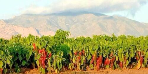 Corno di Toro sweet pepper seeds non-gmo heirloom fresh for 2021 GREAT FRYER!!
