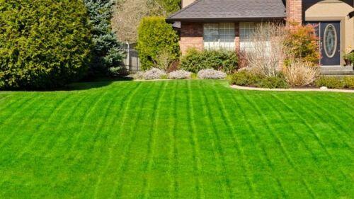 Zoysia Zenith grass 56 gr-1//8 lb seeds