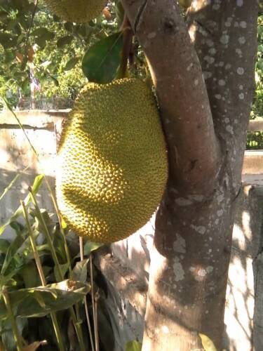 Thai Jackfruit Artocarpus heterophyllus 5 Seeds ThaiGardener