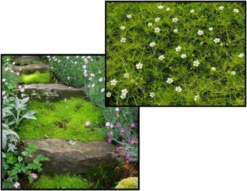 Moss Irish Seeds Sagina Subulata 50 seeds S0865 Gardener/'s dream